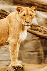 female lion panthera leo