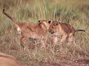 lion facts lion cubs playing