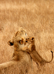 lion pictures lioness and cubs