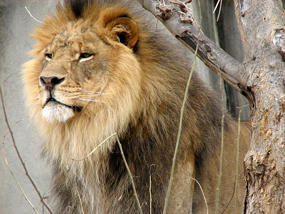 lowe lion pictures male