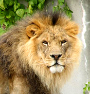 male lion face