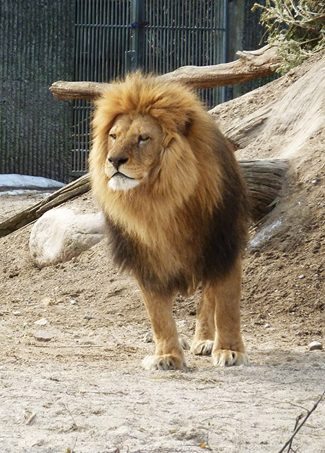 beautiful male lion in zoo