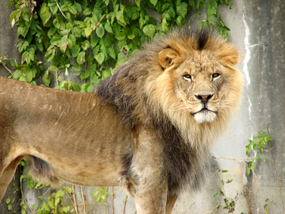 male lion in zoo clip art