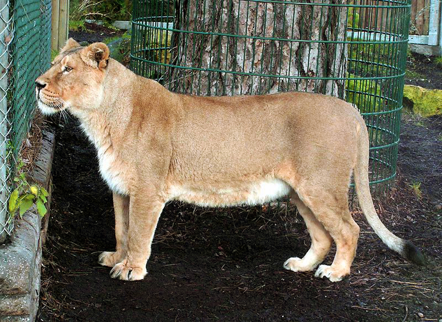 panthere asiatic lioness pictures