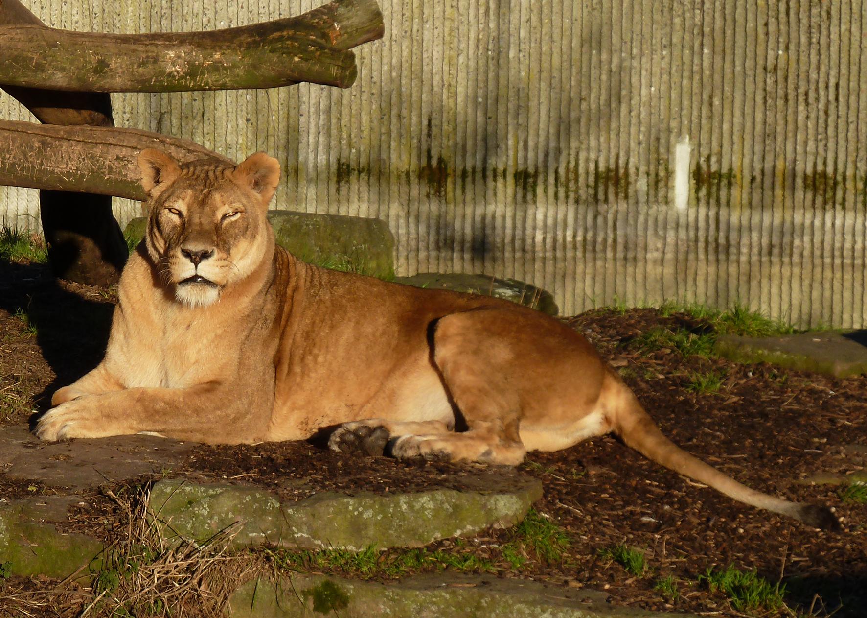 Female lion resting