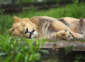 sleeping lion clip art