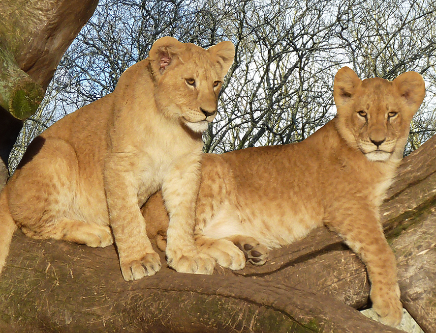 two lion cubs in tree clipart