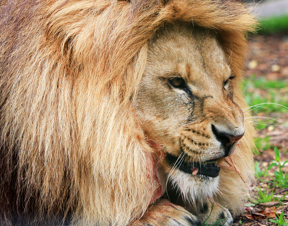 lion with blood eating prey