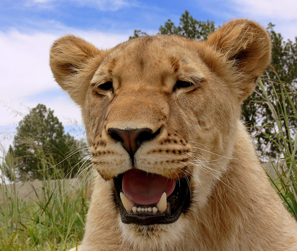 liioness panting
