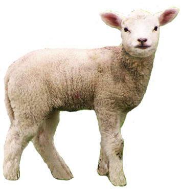 animal clipart lamb