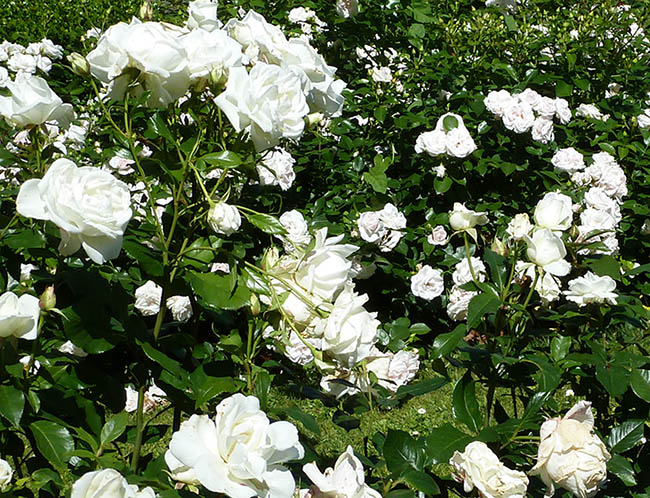 lots of white roses