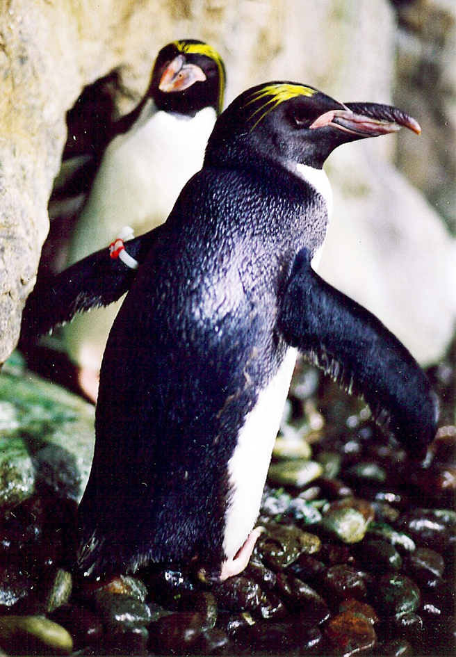 Macaroni penguin photo