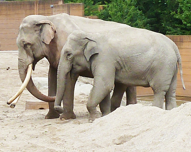 female and male elephant pictures