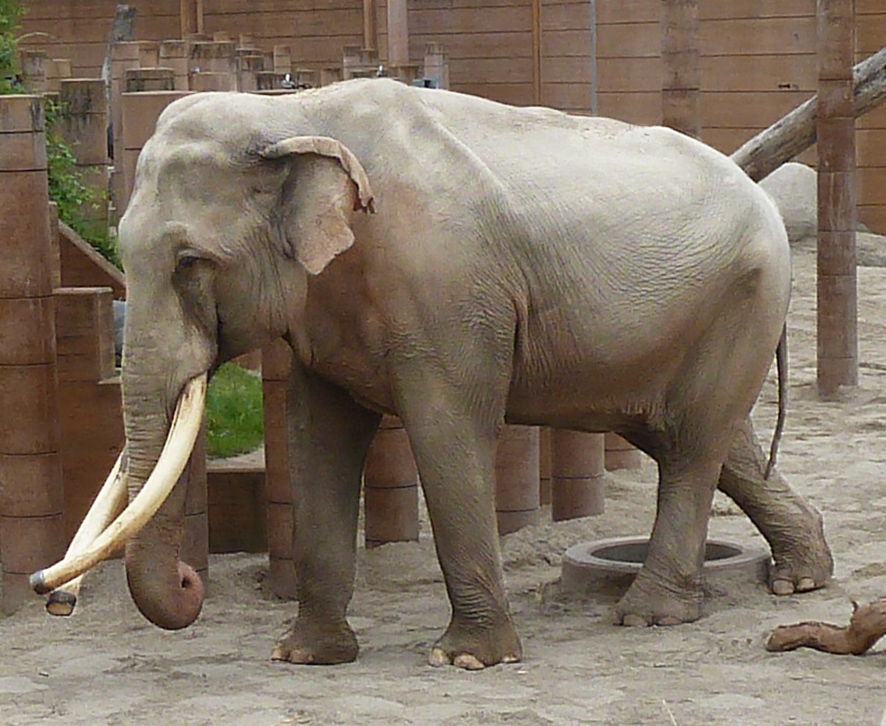 male Asian elephant in Zoo