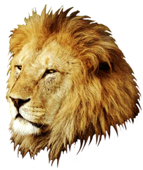 head of male lion