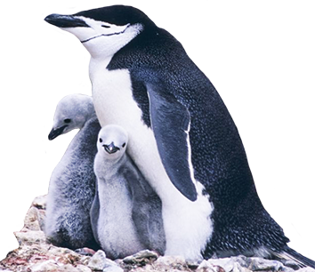 Manchot penguin