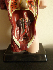 Medical imgages inner organs