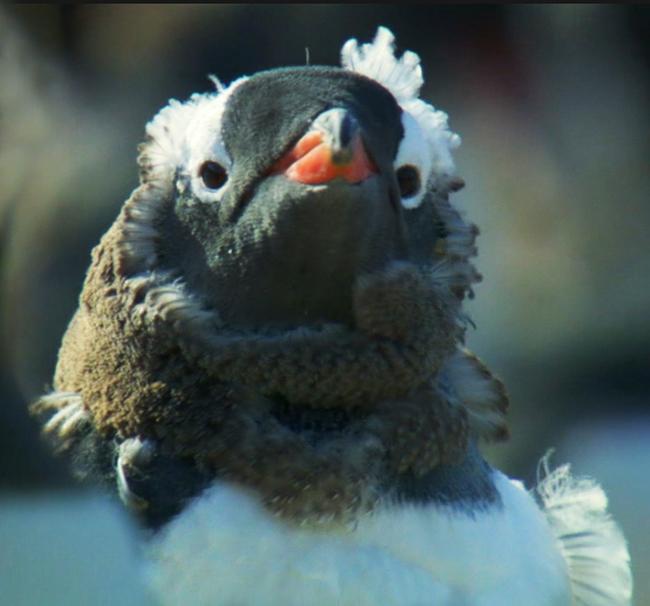 molting gentoo chick