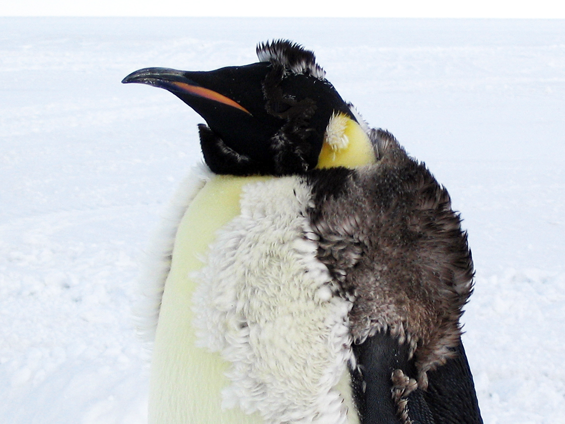 Emperor penguin chick molting