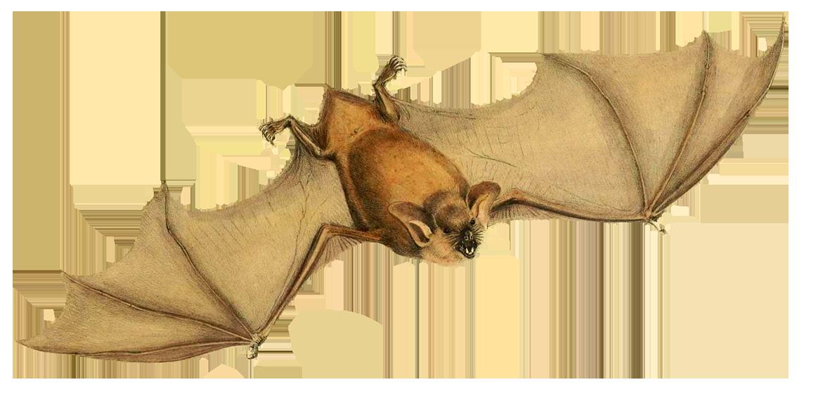 Mystacina tuberculata bat