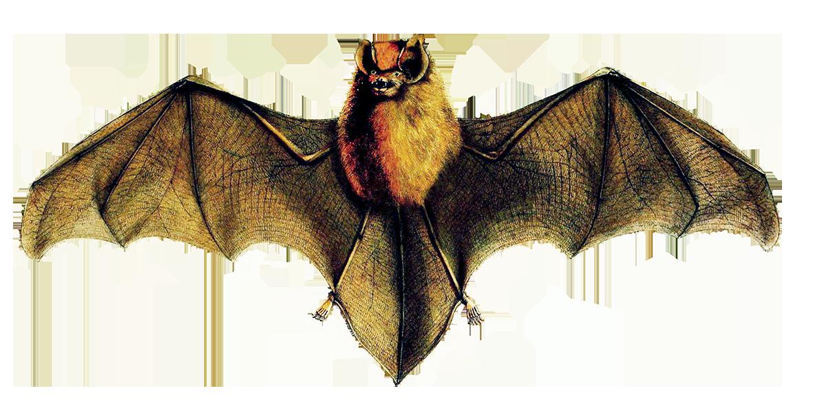 natalus stramineus bat