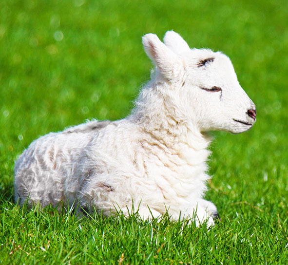 new born lamb in spring