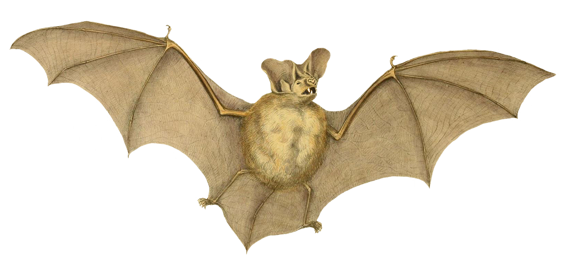 Nyctophilus major bat drawing