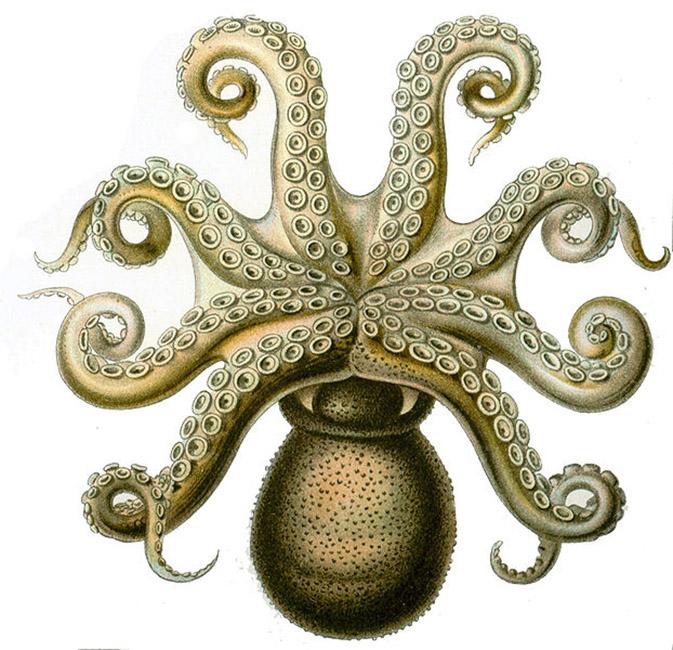 octopous-clipart-octopus-vulgaris