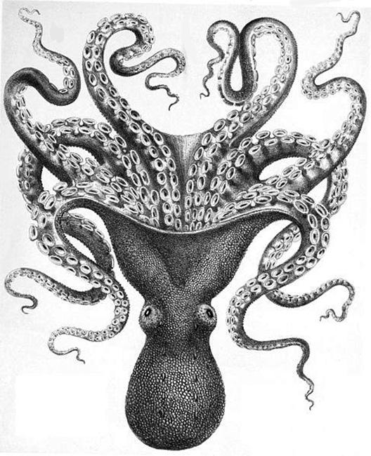 octopus-clipart-octopus-verrucosus