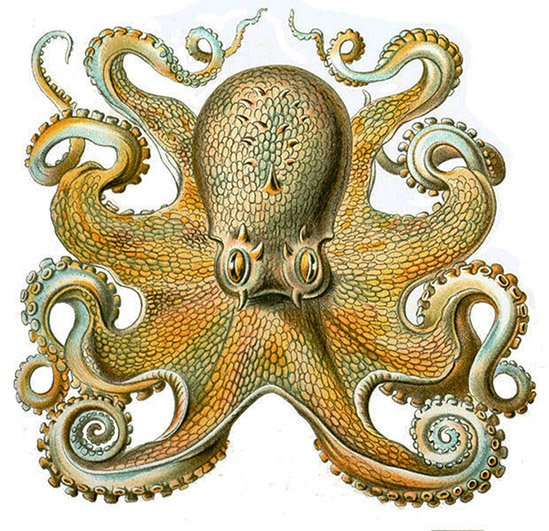 Octopus Vulgaris frontal