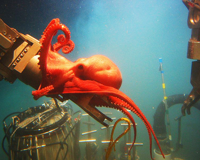 curious octopus picture