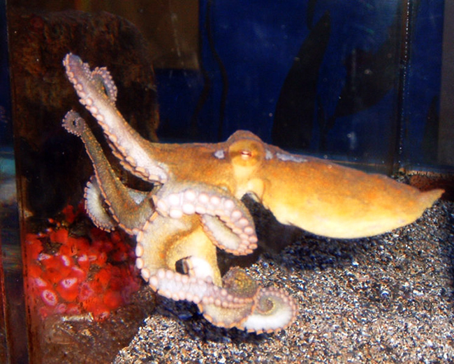 California two spot octopus