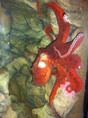 octopus picture enteroctopus dofleini