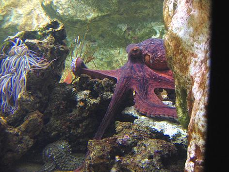 female octopus cares eggs