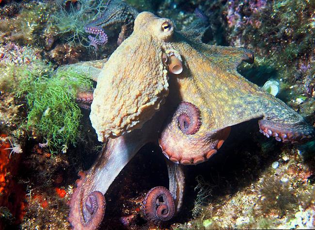 octopus vulgaris picture