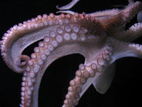 octopus suctions discs suckers