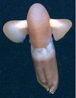 octopus cirroteuthis muelleri