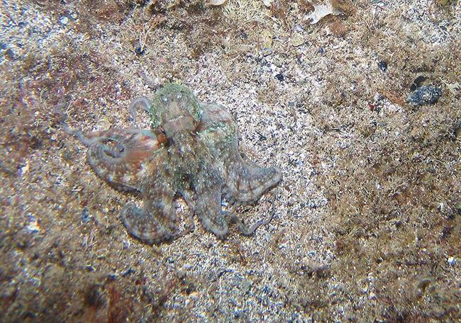 octopus blending in