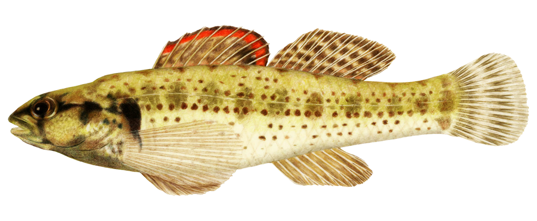 Okaloosa darter fish clipart