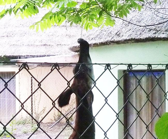 Okapi taking leaves with tongue