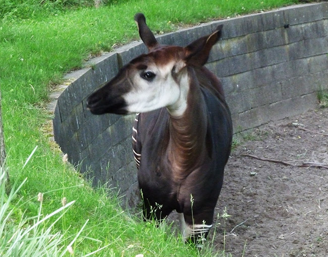Female Okapi