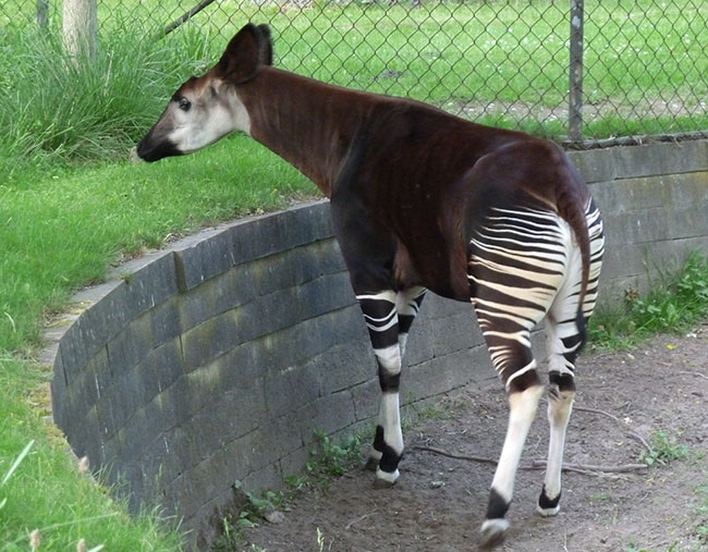 Okapi in zoo