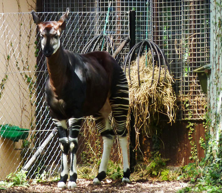 frontal view of okapi