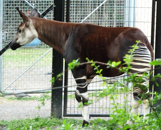 Okapi walking