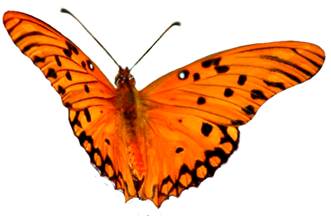 clip art orange butterfly