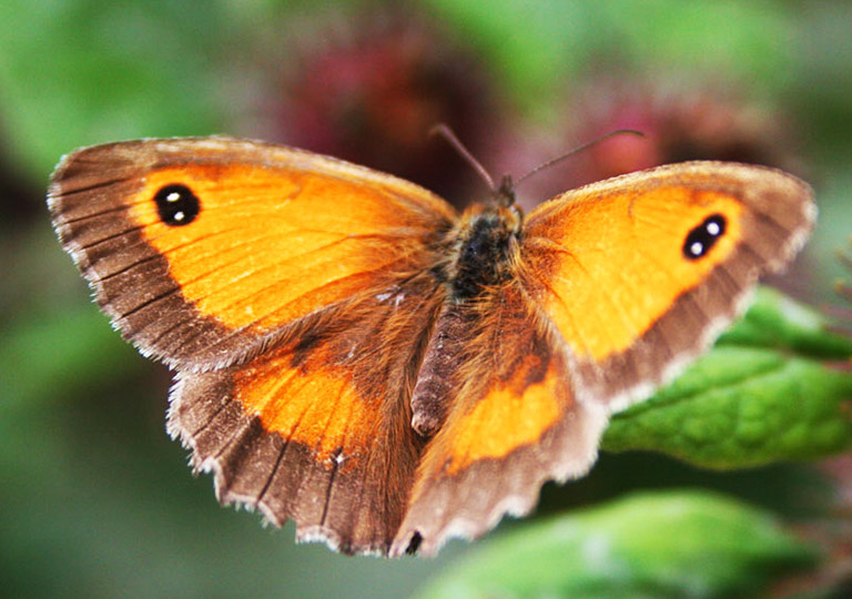 orange butterfly picture