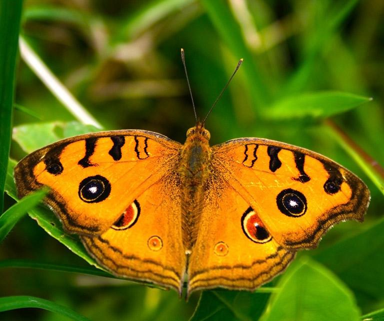orange papillon