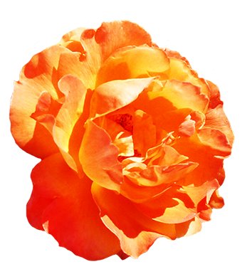 Orange rose for Valentine's Day