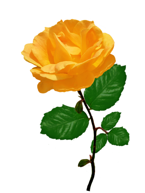 orange rose clipart with leaves