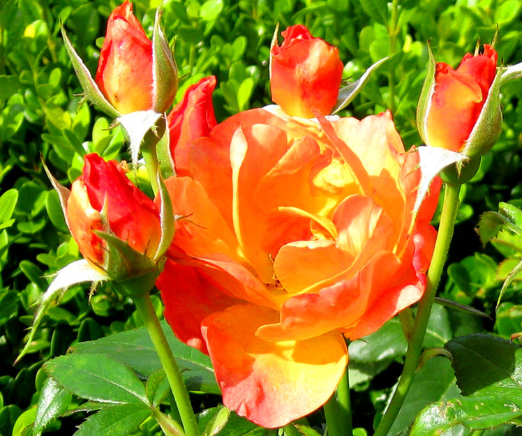 picture of orange roses and rose buds